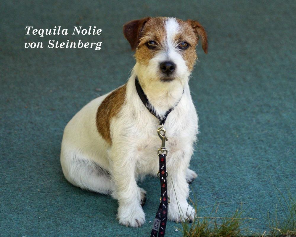 Aktueller Wurf – von Steinberg Jack Russell Terrier