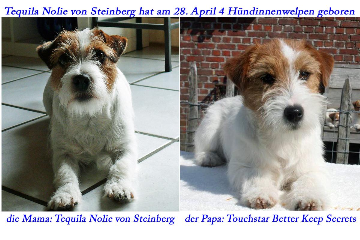 Tequila Nolie von Steinberg hat am 28. April 4 Jack Russell Terrierwelpen geboren